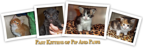 Past maine coon kittens of pipandpaws.