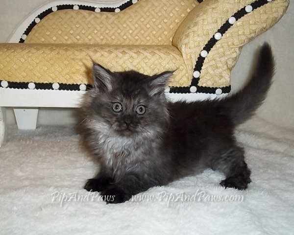 SOLD - Smoke Maine Coon Kitten.