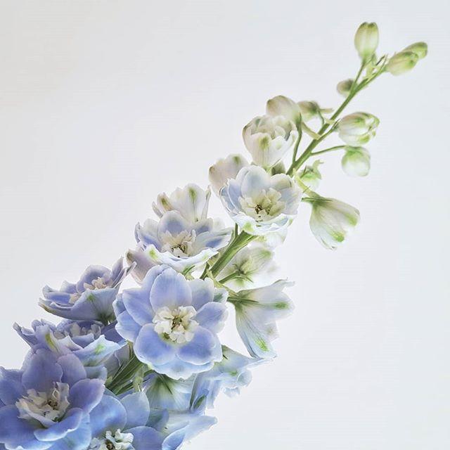 #delphinium #blue