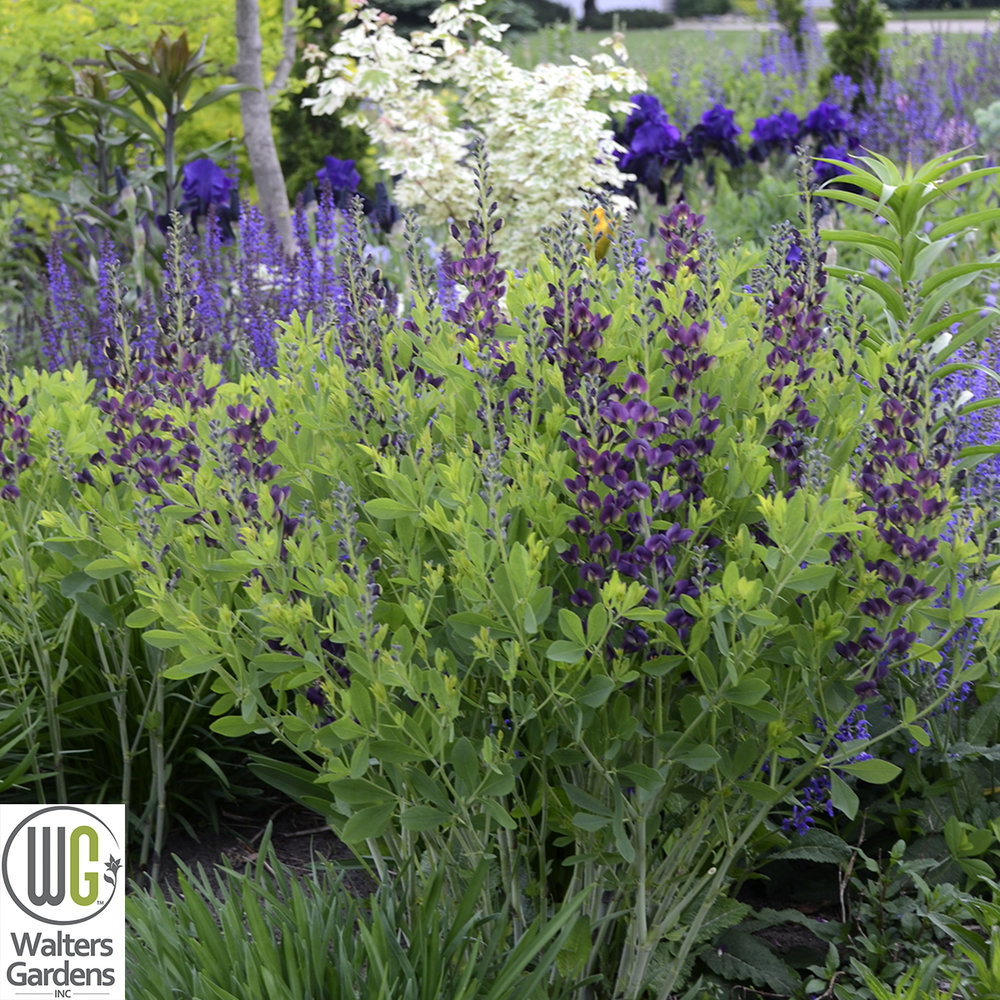 Baptisia 'Grape Taffy' - Size: 24-30