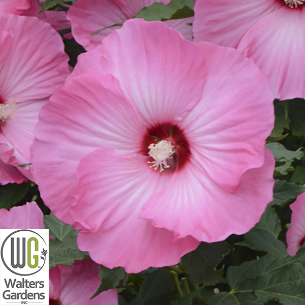 """Hibiscus 'Airbrush Effect' - Size: 42-48"""" tall x 48"""" wideBloom: Summer - Early Fall"""