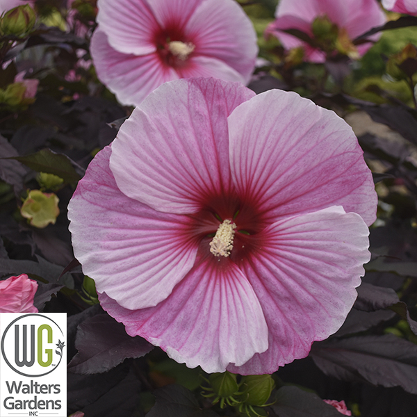 """Hibiscus 'Starry Night' - Size: 42-48"""" tall x 48"""" wideBloom: Summer - Early Fall"""