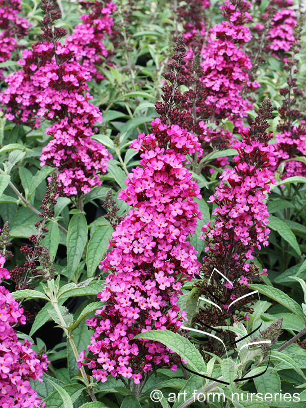 Buddleia 'Buzz Hot Raspberry'