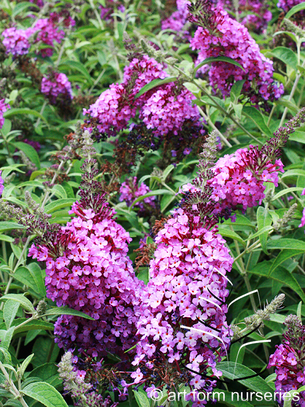 Buddleia 'Buzz Purple'