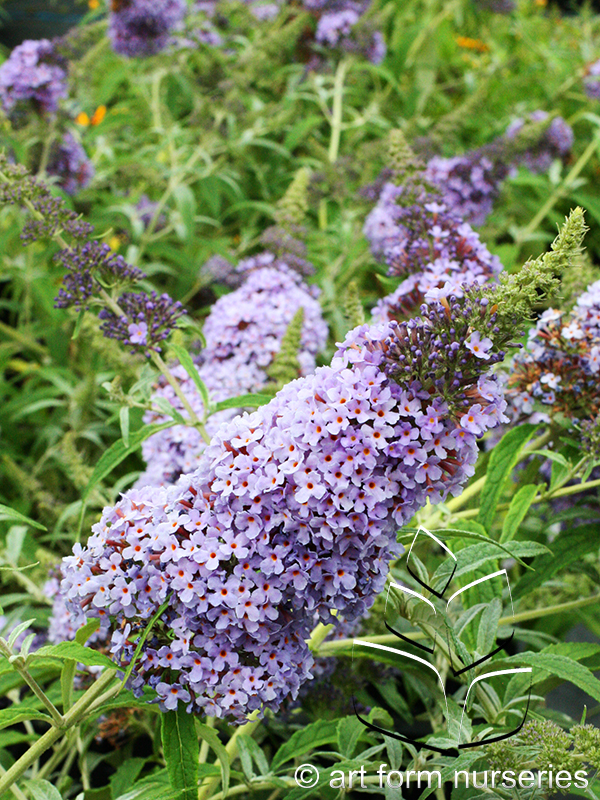 Buddleia 'Buzz Sky Blue'