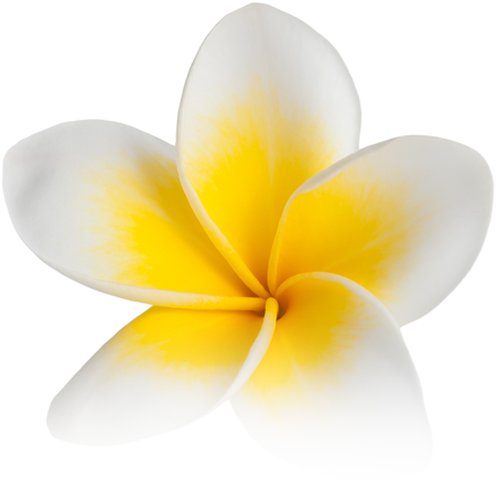 plumeria-white-yellow-516216677.png