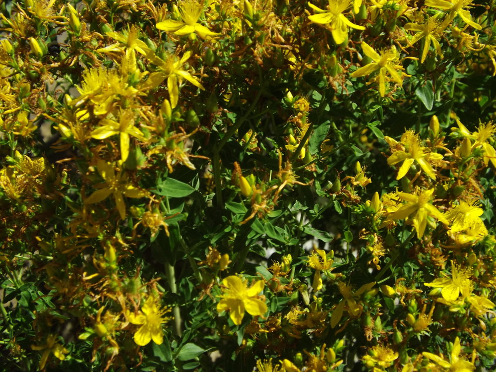 HYPERICUM/ ST JOHN'S WORTH