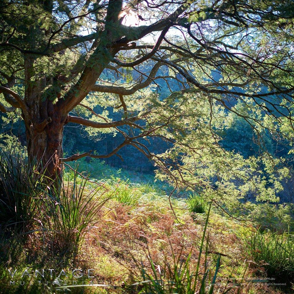 Olinda-Tree.jpg