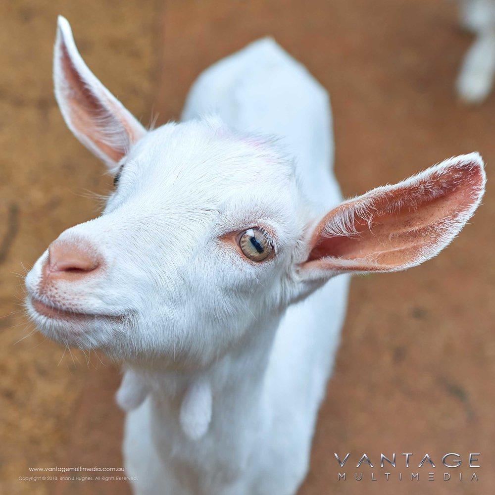 Baby-Goat.jpg