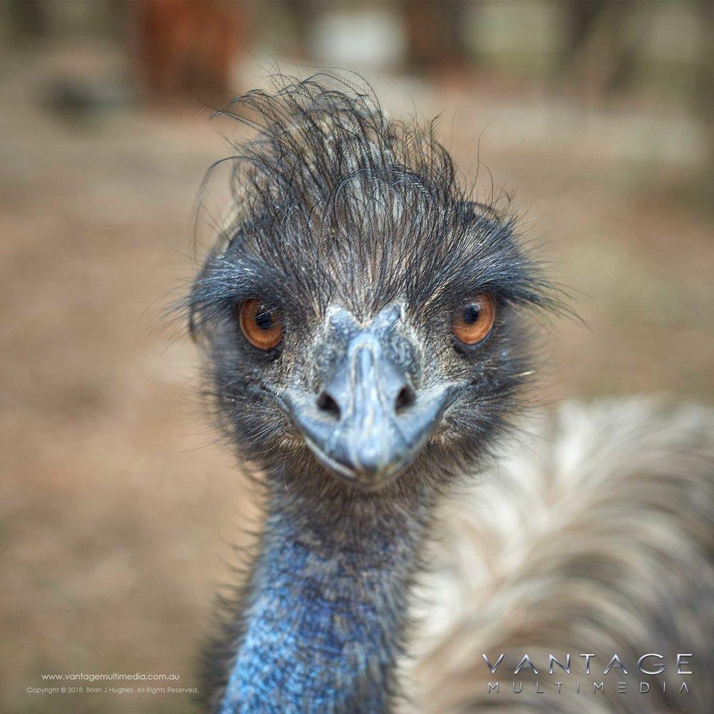 Emu-II.jpg