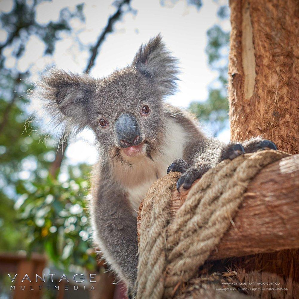 Koala-III.jpg