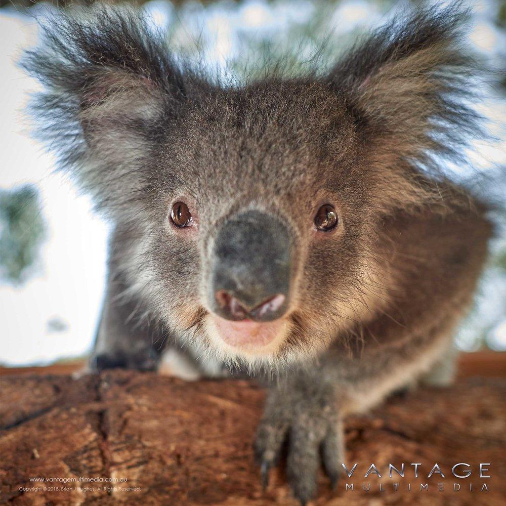 Koala-II.jpg
