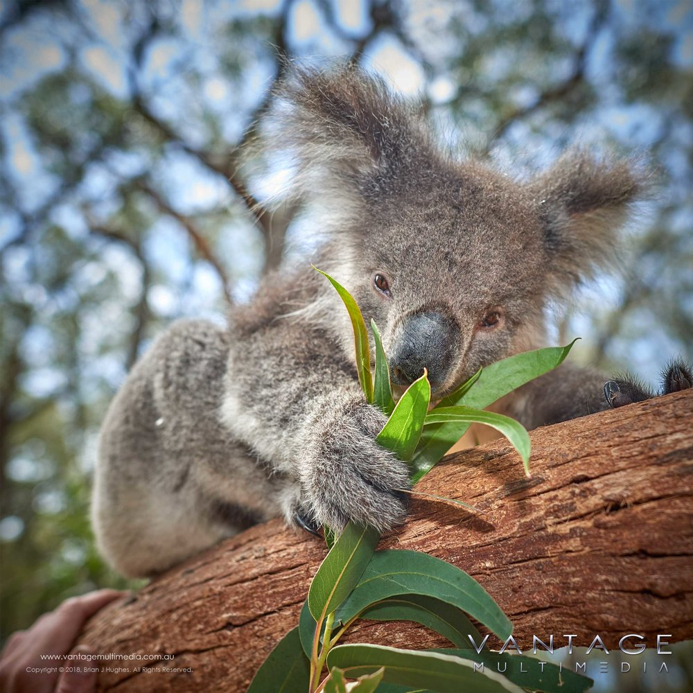 Koala-IV.jpg