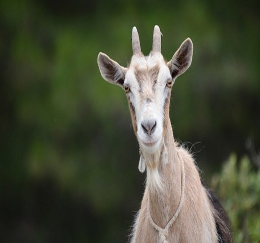 Applied Bio-minerals - ABM - Sustainable Farming - Goat.jpg
