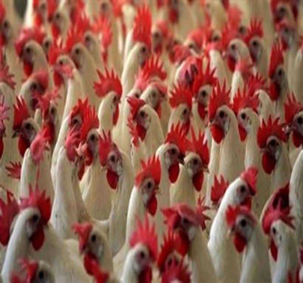 Applied Bio-minerals - ABM - sustainable Farming - Chicken.jpg