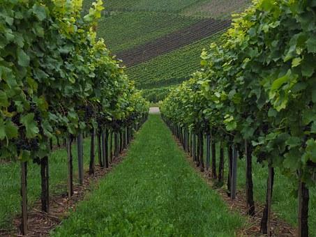 vineyard3-applied-bio-minerals.jpg