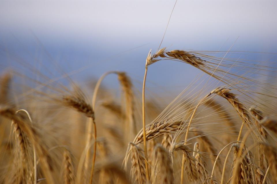 Barley-applied-bio-minerals.jpg