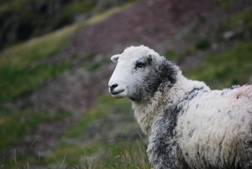 sheep-white-lambs-goats-59863.jpeg