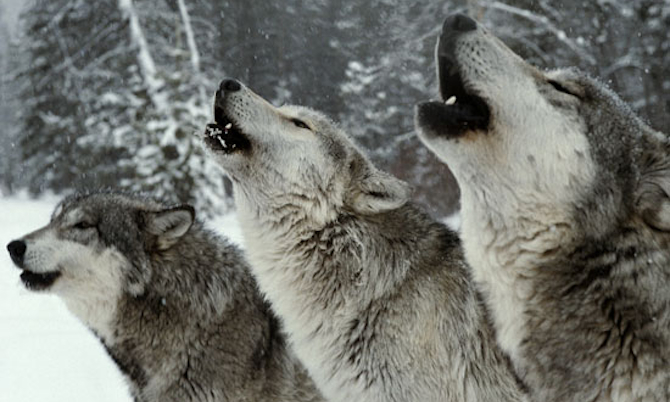 Wolf-Pack-Howling.jpg