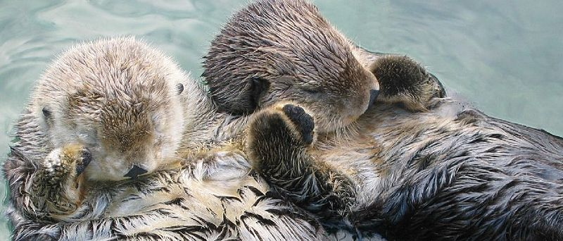 Sea_otters_holding_hands_cropped.jpg