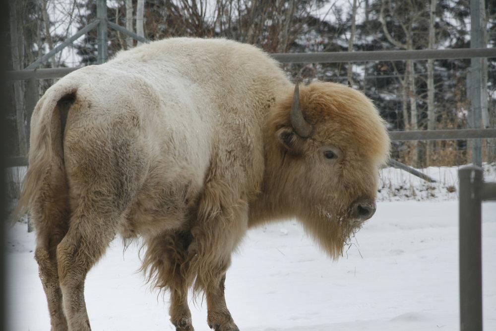 sacred white buffalo.jpg