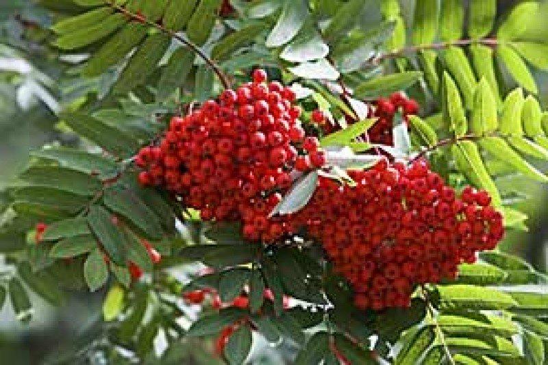 rowan-seedling.jpg