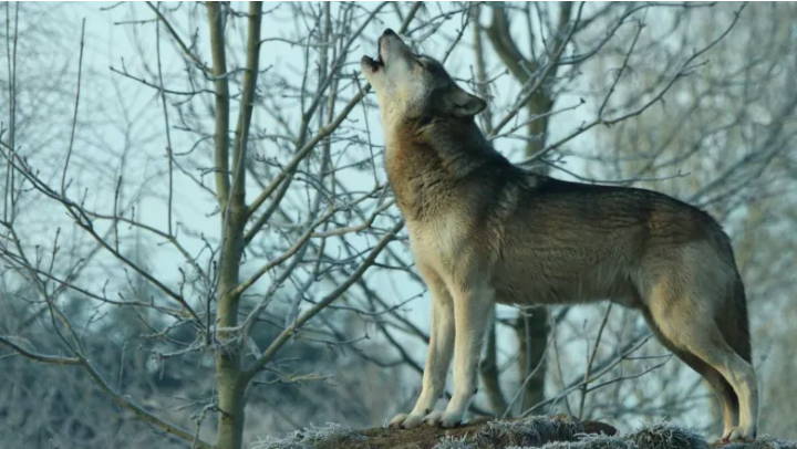 torak the wolf.png
