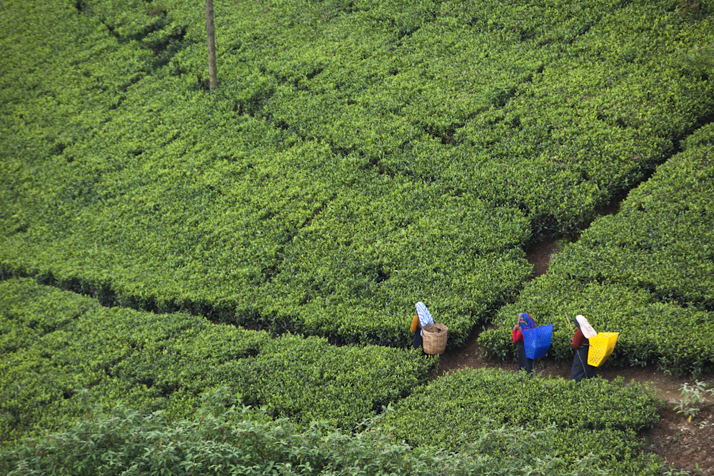 Tea farmer /  Getty Images / Nuwara Eliya, Sri Lanka /