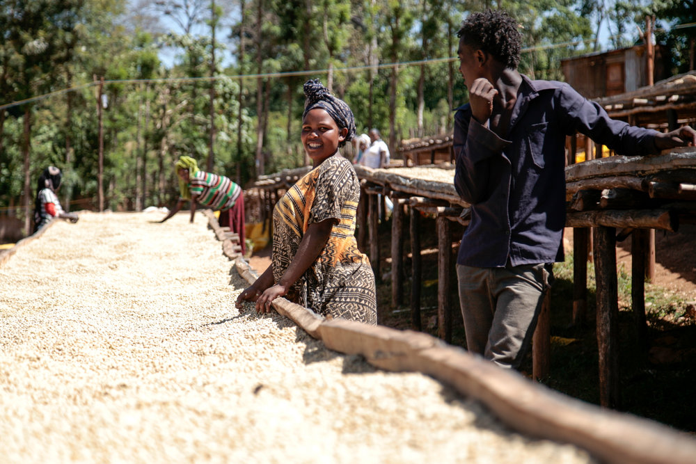 Washed coffee drying in the Guji zone, Ethiopia.