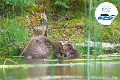 Beaver at Duncraigaig