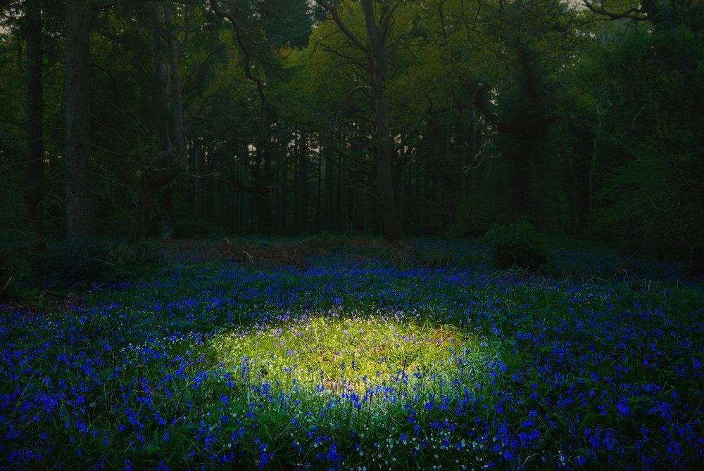 Landscape / Bluebells / George McLeod
