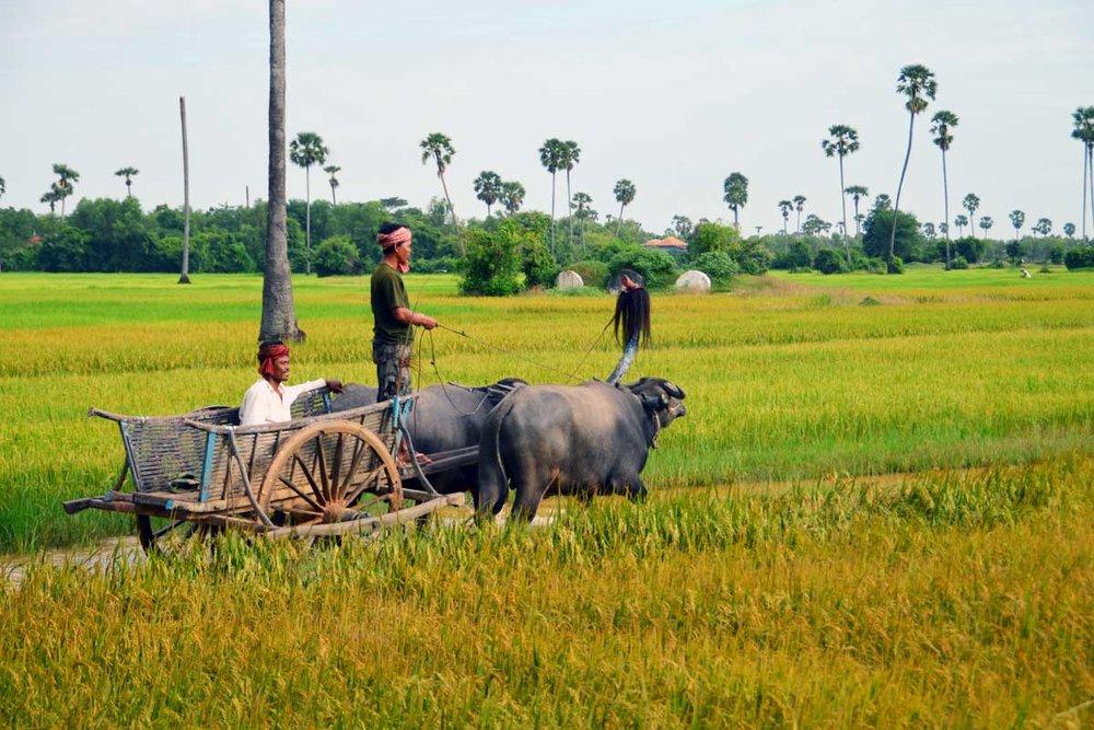 Cambodia Siem Reap Rice Paddy.jpg