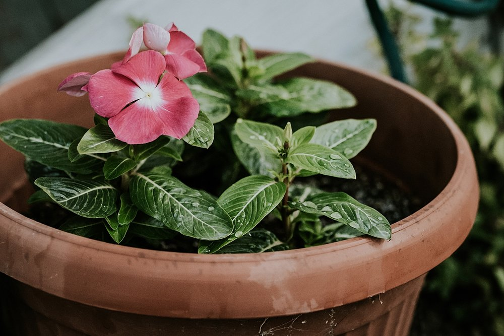 Orange County family photographer. Photo of pink flowered pot plant