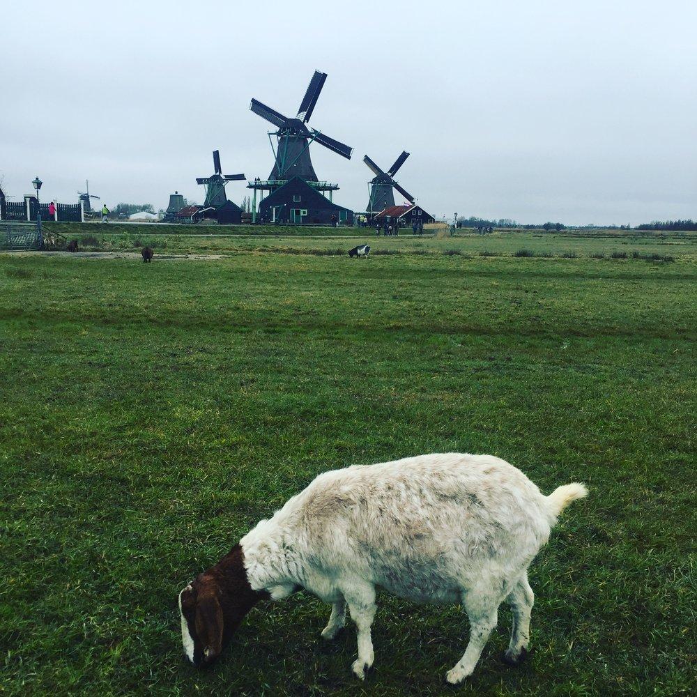 windmillgoatamsterdam