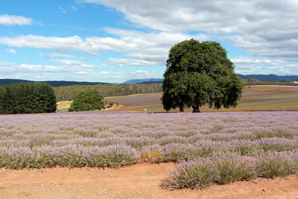 Bridestowe Lavender Farm Tasmania_Mister Weekender