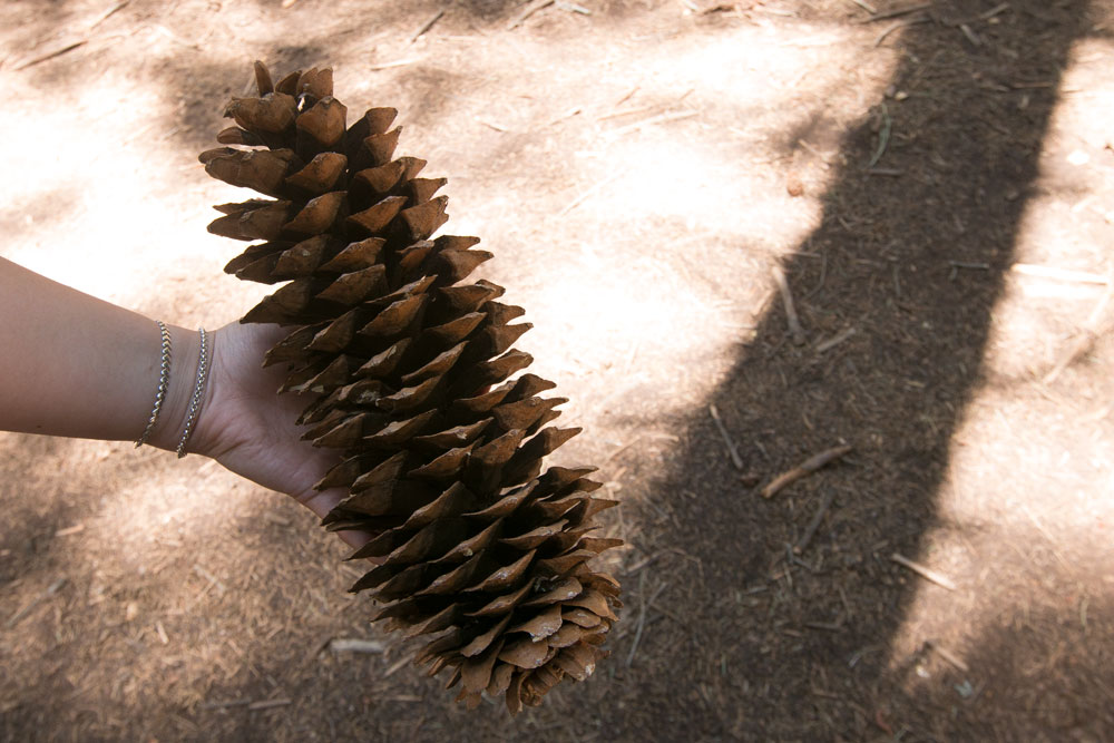 Huge pinecone at Giant Sequia