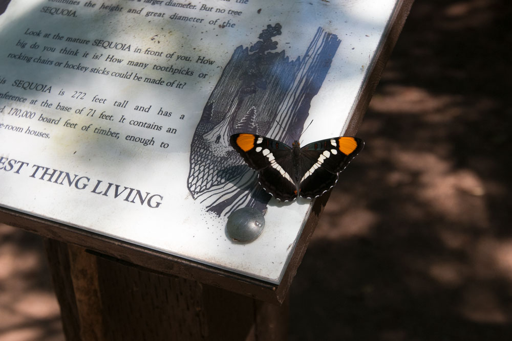 Nelder Grove of Giant Sequoias Butterfly