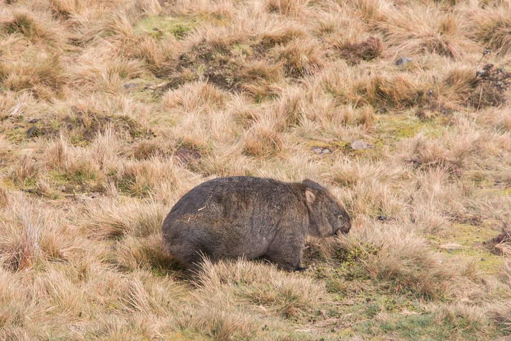 Meeting the friendly locals - Wombats!