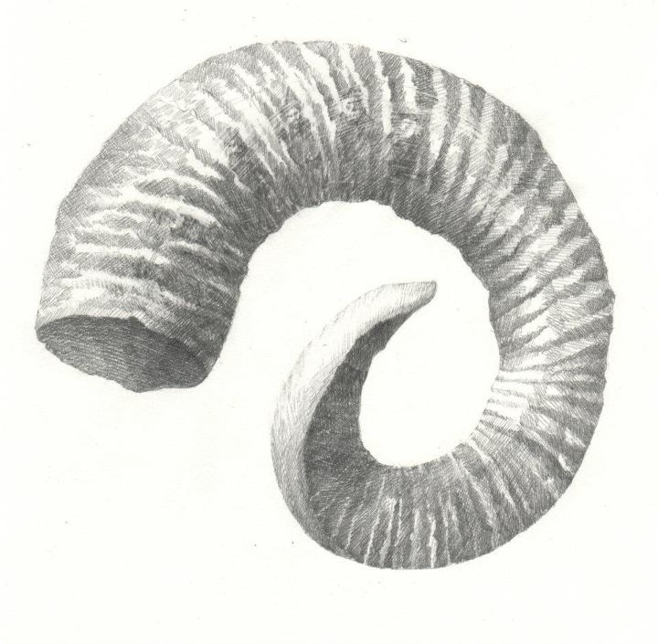 'Soay Ram's Horn'