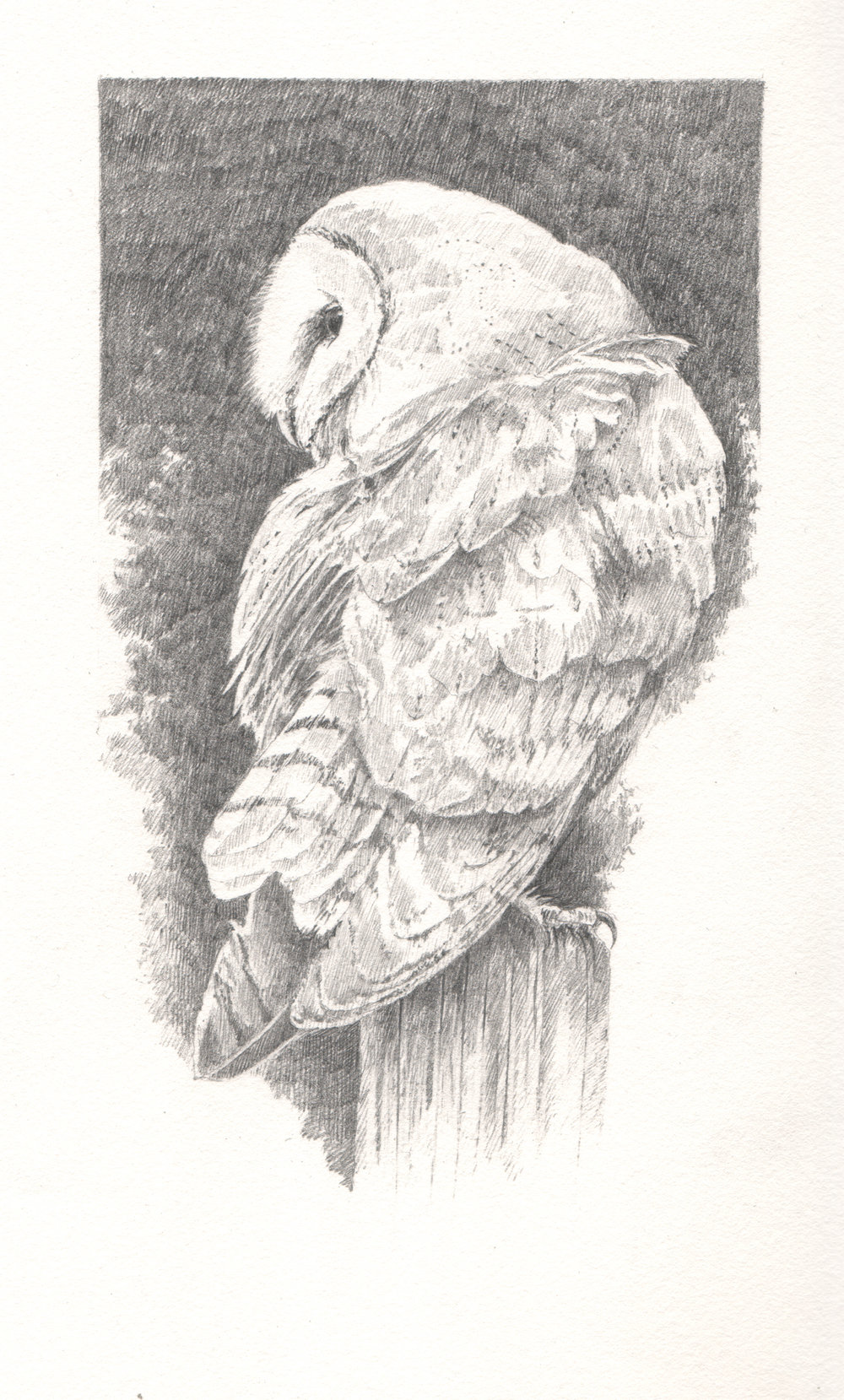 Barn Owl - Study for author Miriam Darlington