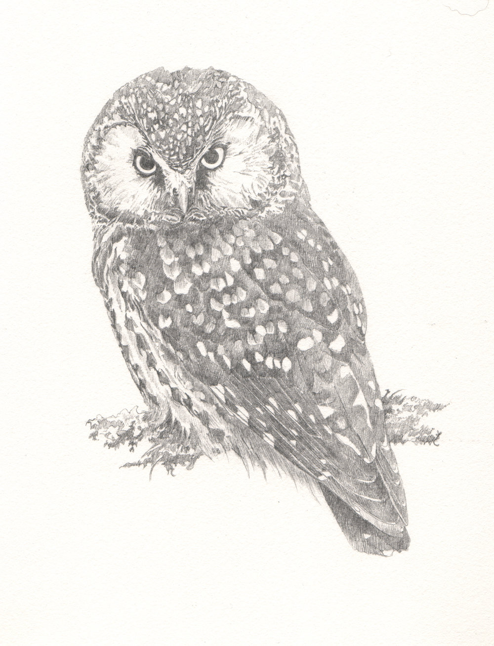 Tengmalm's Owl - Study for author Miriam Darlington