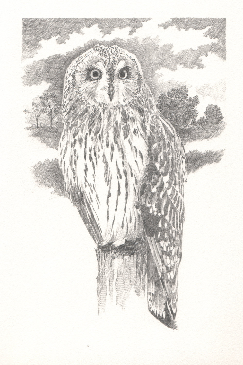 Short-eared Owl - Study for author Miriam Darlington