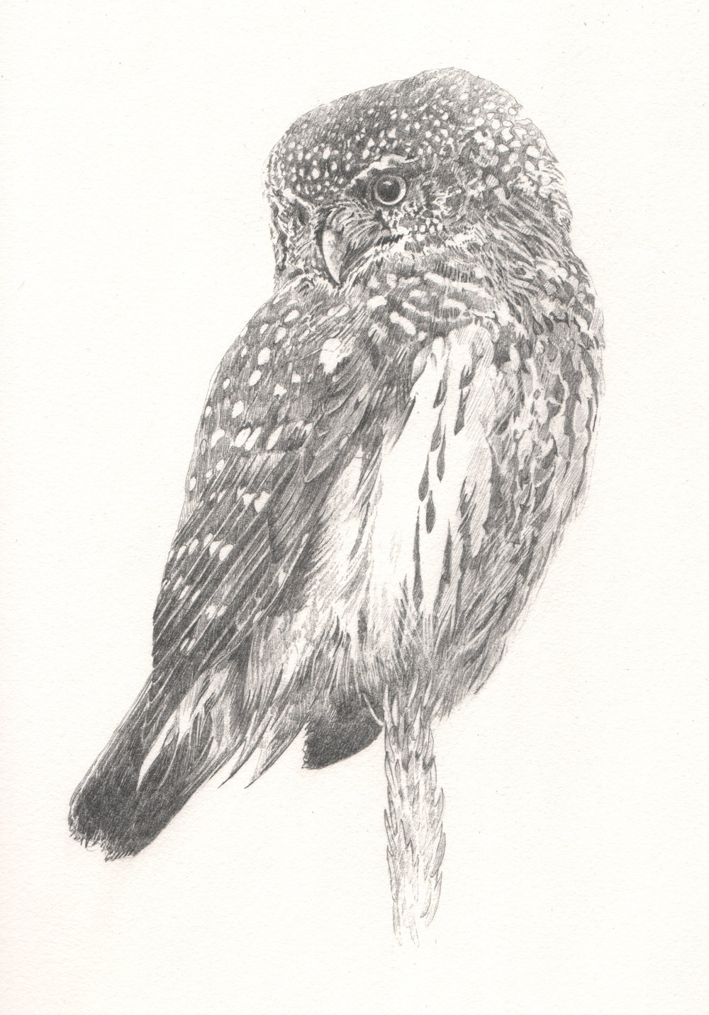 Pygmy Owl - Study for author Miriam Darlington
