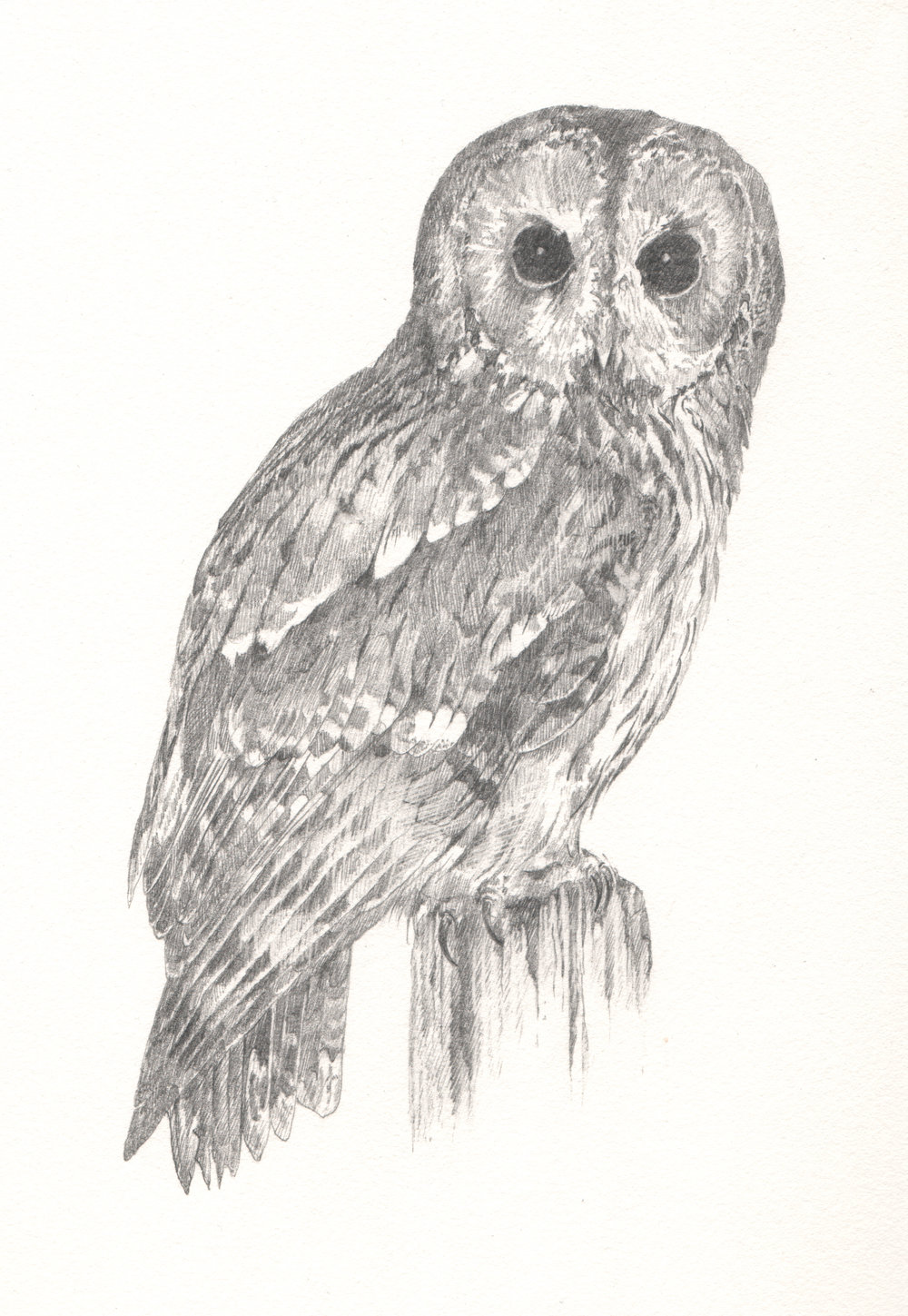 Tawny Owl - Study for author Miriam Darlington