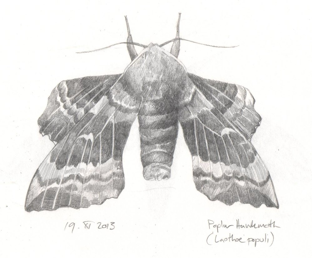 'Poplar Hawkmoth study' from  Beasties  collaboration with poet  Isobel Dixon