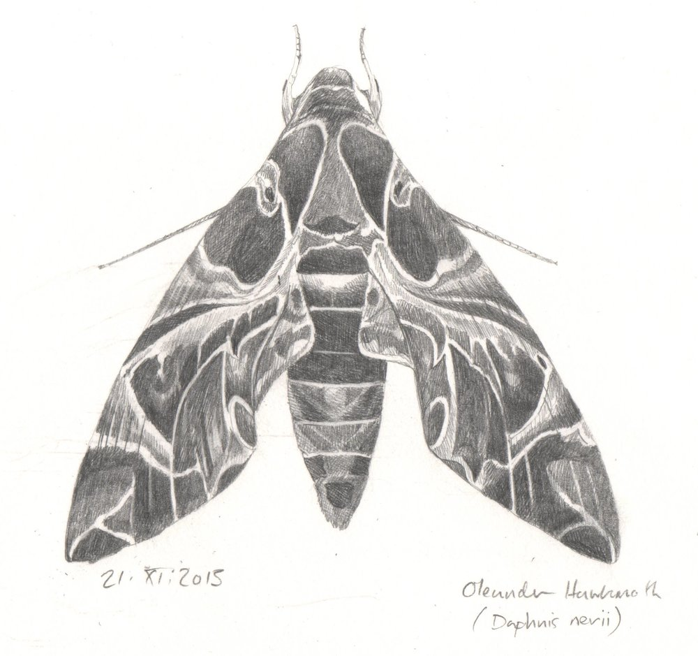 'Oleander Hawkmoth study' from  Beasties  collaboration with poet  Isobel Dixon