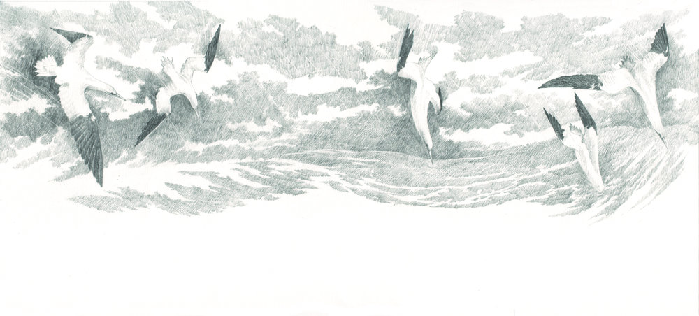 gannets copy.jpg
