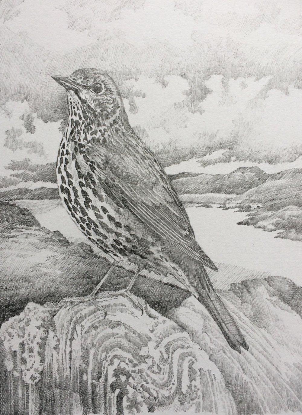 'Hebridean' Thrush  - study from Carinish, North Uist