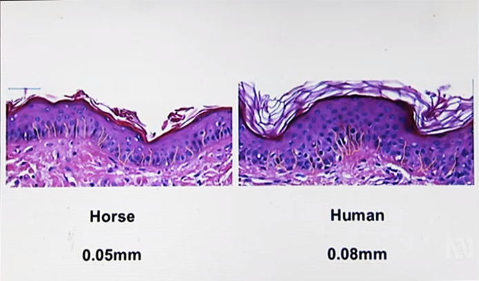 The image above is showing horse skin on the left with the thinner epidermis. On the right, human skin. Image courtesy of Catalyst.