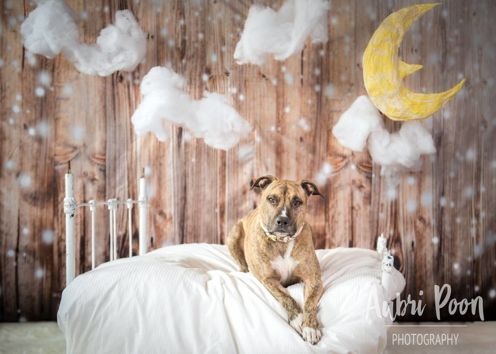HEY!  Wanna Sleep Rover?  Shogun and his Happy 7th Birthday Photoshoot with Aubri Poon Photography.